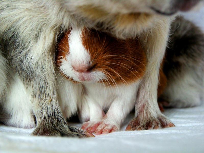 guinea pigs II by littlelionpaw