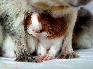 guinea pigs II
