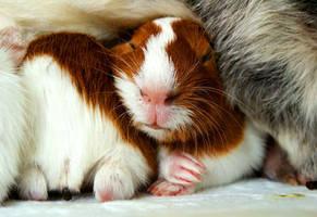 guinea pigs III by littlelionpaw