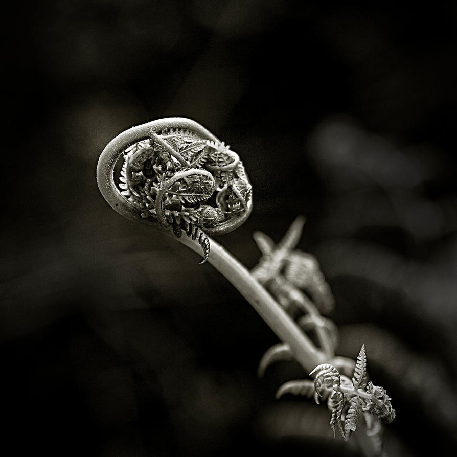 Fiddlehead by Muskeg