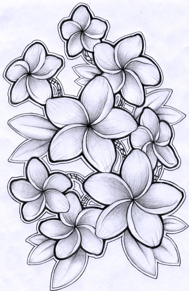 Plumeria Flower Line Drawing Plumeria drawing by timchris