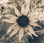 Sepia Black Eyed Susan Wall Art Photography
