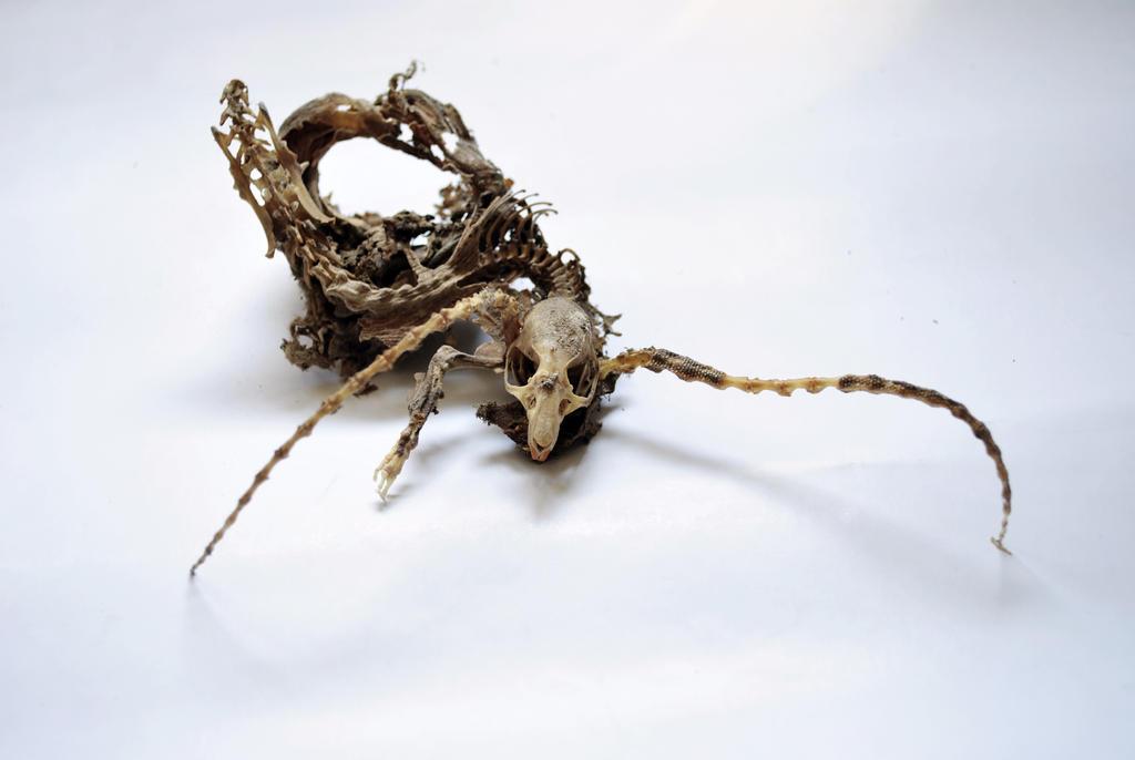 My Longhorn Rat 1