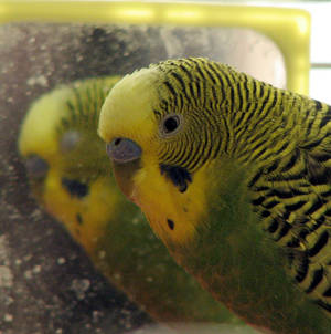 Feisty the Budgie