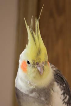 Handsome Cockatiel