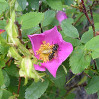 Wild Rose and Wasp, Banff by calzephyr