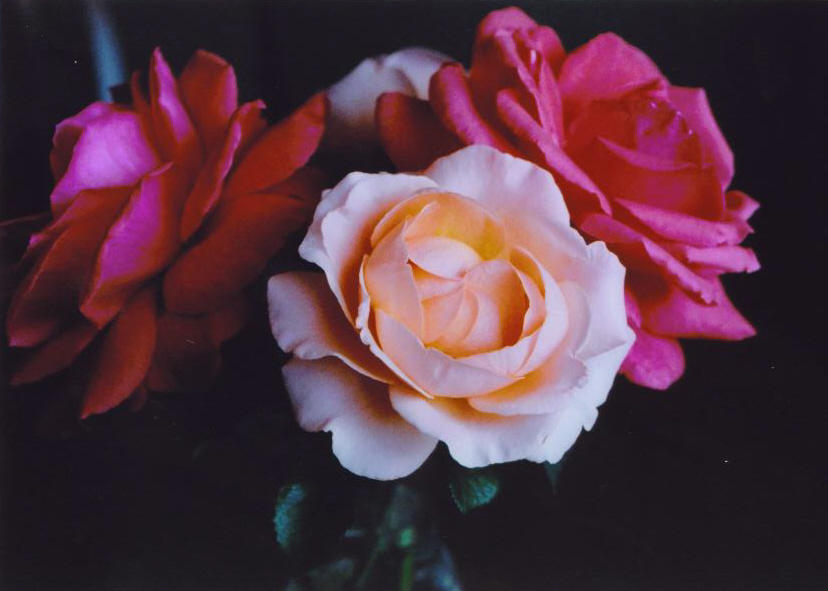 The Roses' Last Hurrah by Slowlydying