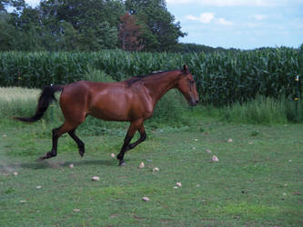 Standardbred 29 by Aftermath-Stock