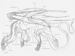 European dragon anatomy MUSCLE