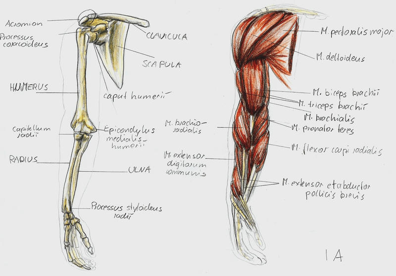 anatomy arm 1 by bk-81 on deviantart, Human Body