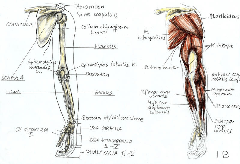 Anatomy of the right arm