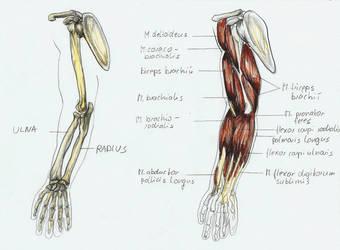anatomy arm 3 by BK-81