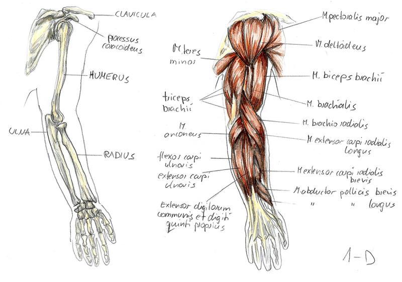anatomy arm 1 by bk-81 on deviantart, Human body