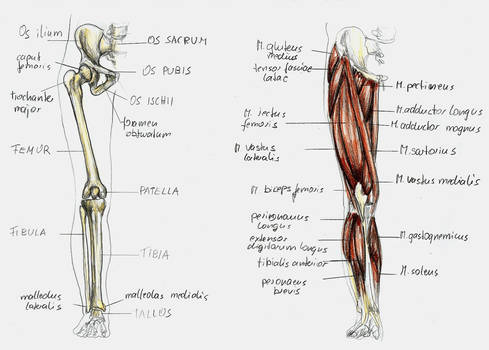 anatomy leg 1 by BK-81