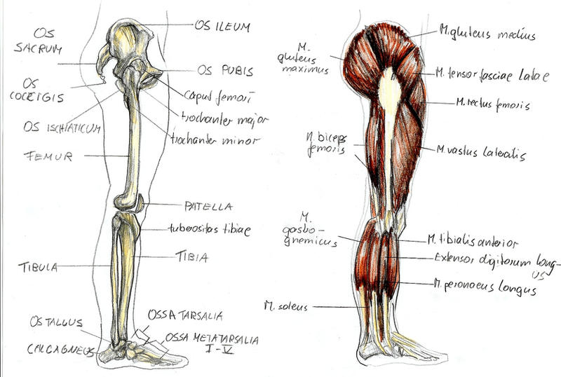 anatomy leg 1 by bk-81 on deviantart, Skeleton