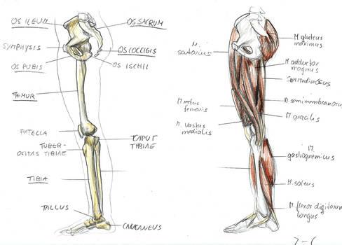 anatomy leg 3 by BK-81