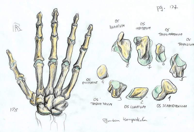 Bones Of A Right Hand By Bk 81 On Deviantart