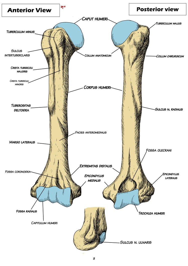Anatomy Humerus By Bk 81 On Deviantart