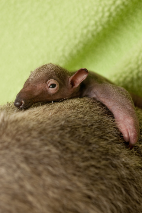 Baby Anteater by RedPigeon
