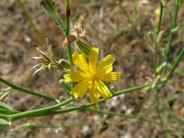 little sunyellow flower by huncyrus