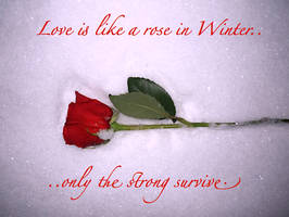 Rose in Winter..