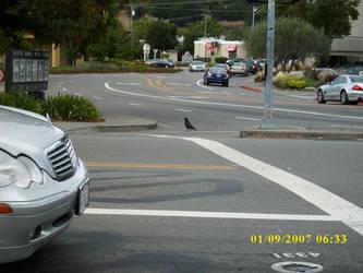 Crosswalk Bird