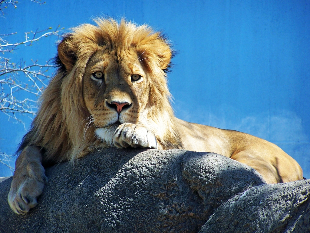 lion by jonescrusher