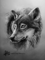 Wolf Head Study by ISHAWEE
