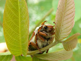 May Bug 1