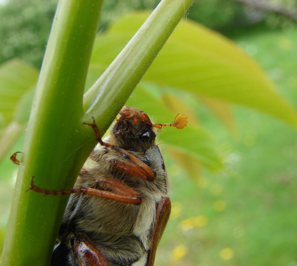 May Bug 2 by KSnake