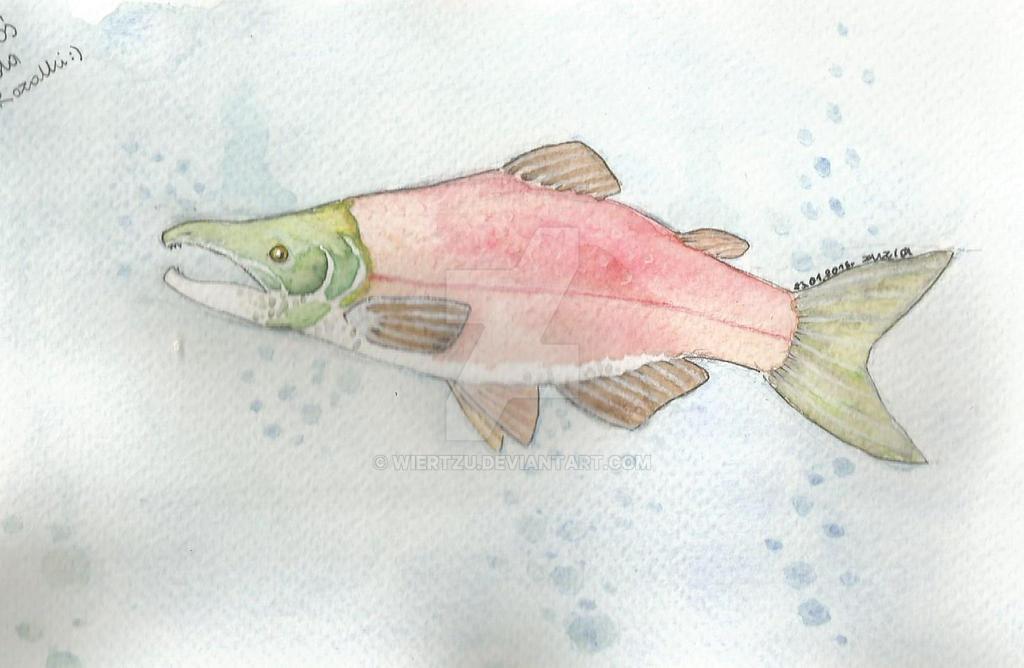 sockeye salmon by Wiertzu