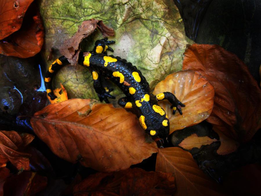fire salamander by gab...