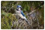 Friendly Blue Jay