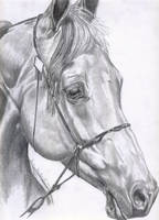 Grey horse by Sunriseaurora