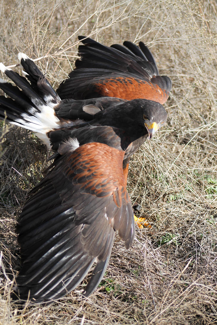 Harris Hawk Mantle by Broadwinger