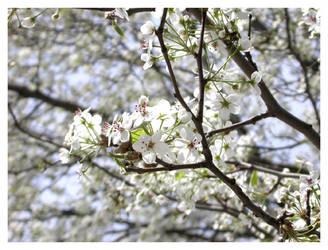 White Sakura 1 by Dave3of4