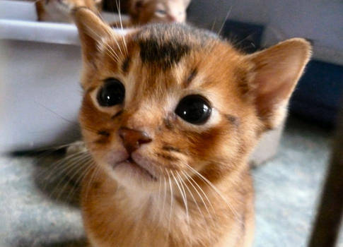 Kittehcat