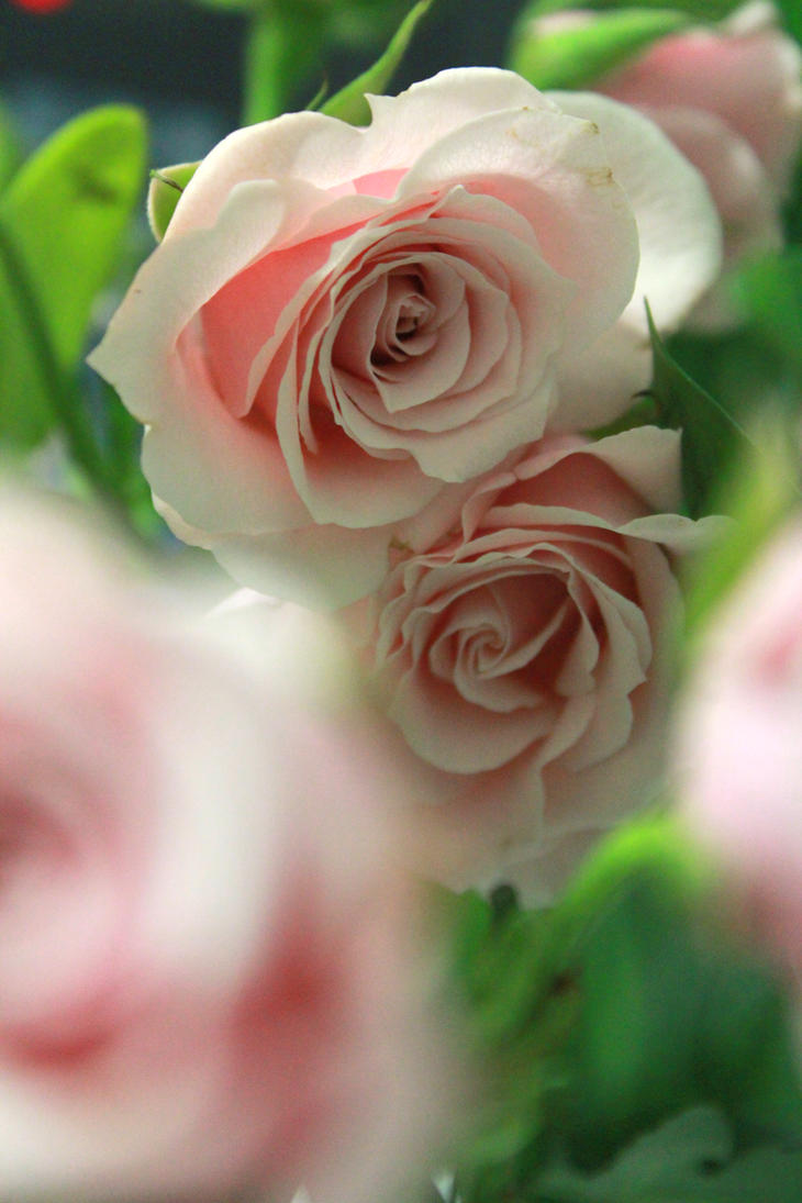 Pink Rose by Katsa2009