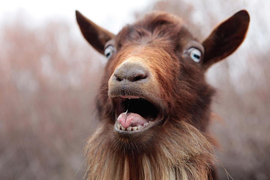 Goat roar by fbcota