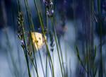 Lemon butterfly by valeriemonthuit