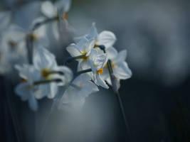 Narcisses by valeriemonthuit