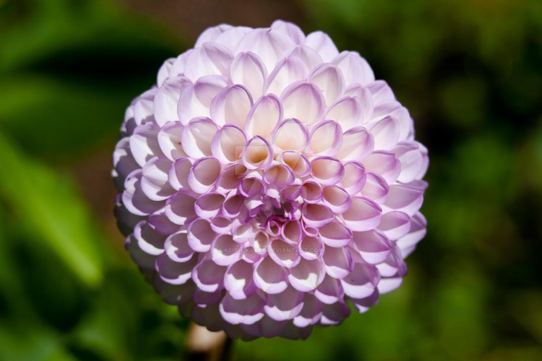 Nice Flower 3 by Keith-Killer