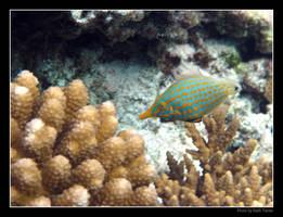 Longnose Filefish by Keith-Killer