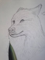 Wolf sketch by lambieV