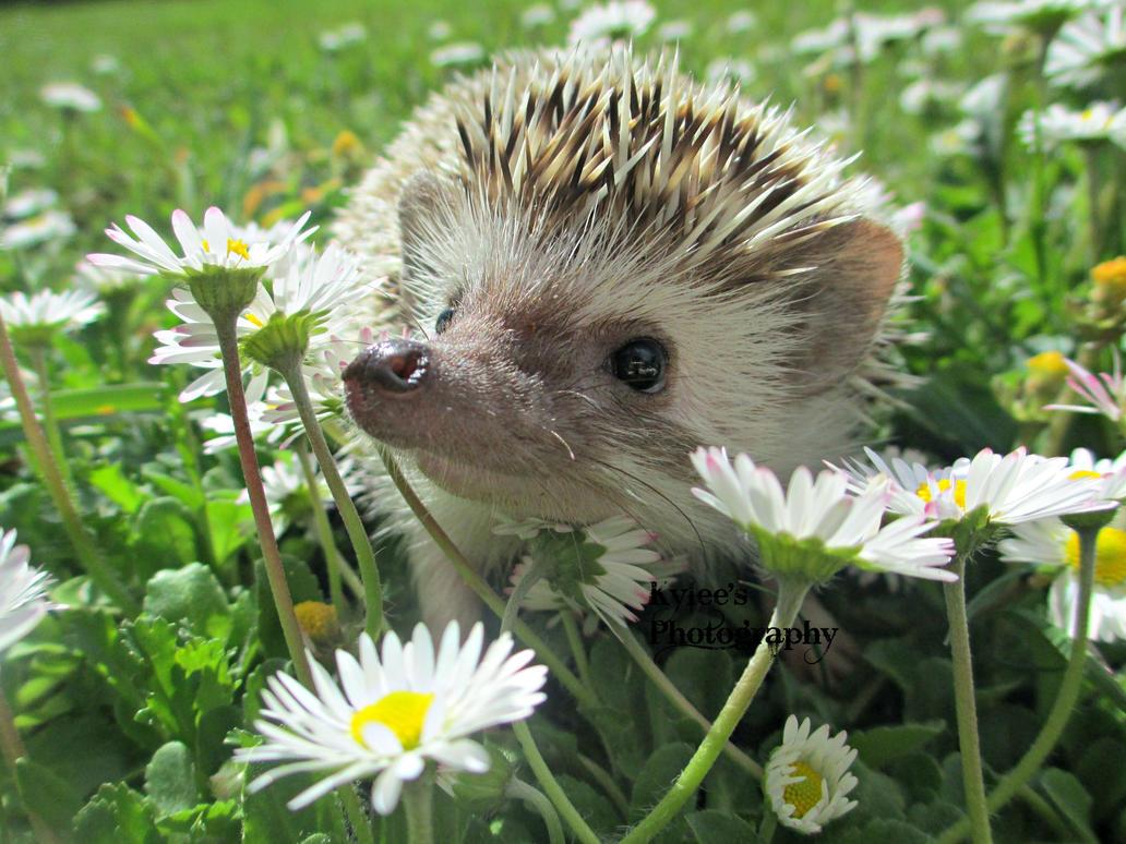 My Hedgehog, Leevi by TMNT224