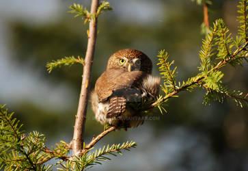 Northern Pygmy Owl: Watched by ReRileyIII