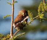 Small Northern Pygmy Owl