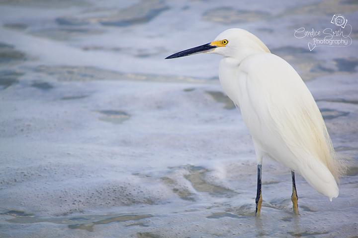 Egret by CandiceSmithPhoto