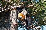 Grey-headed Flying Fox - 01