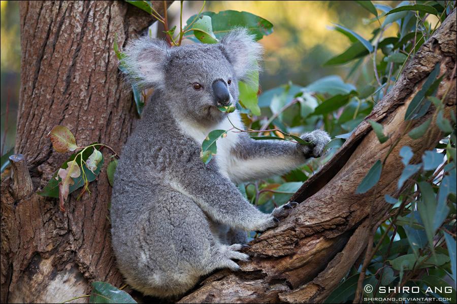 Koala - 01 by shiroang